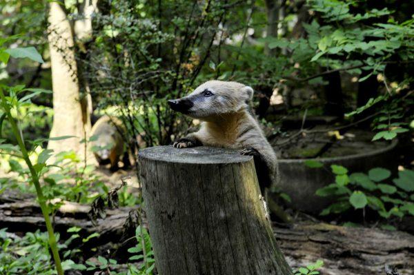 Der Nasenbär hält Ausschau auf dem Baumstamm
