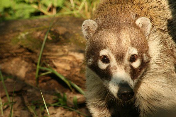 Patentier Nasenbär in der Tierwelt Herberstein